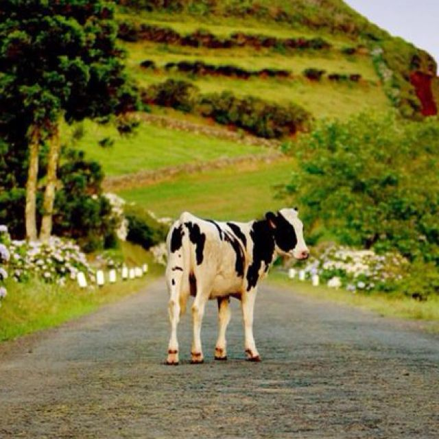 Terceira (Azores), Portugal... Where cow jams are an everyday thing!