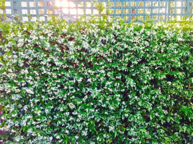 Lovely star jasmine...