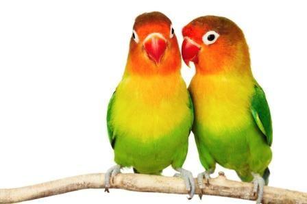 Cara Sukses Ternak Love Bird, Tips Breeding Paruh Bengkok