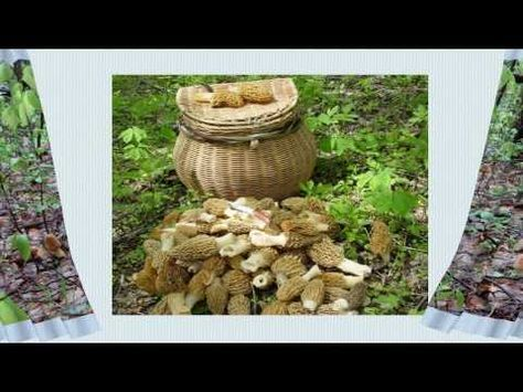 Mantar tohumu, kuzu göbeği, istiridye mantarı, morel, çaşır mantarı, bailin oyster, pleurotus nebrodensis, morchella esculenta, mushroom spawn,