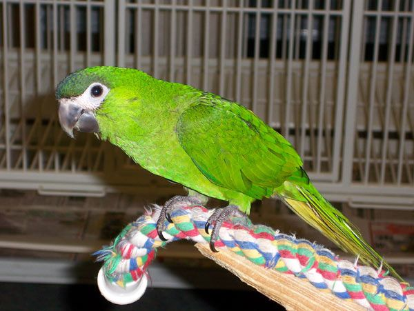 Hahn's Macaws | severe yellow collar classifieds birds for sale hahns hahns macaws