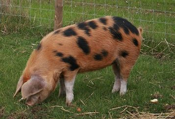Oxford Sandy and Black Pig Want!!!