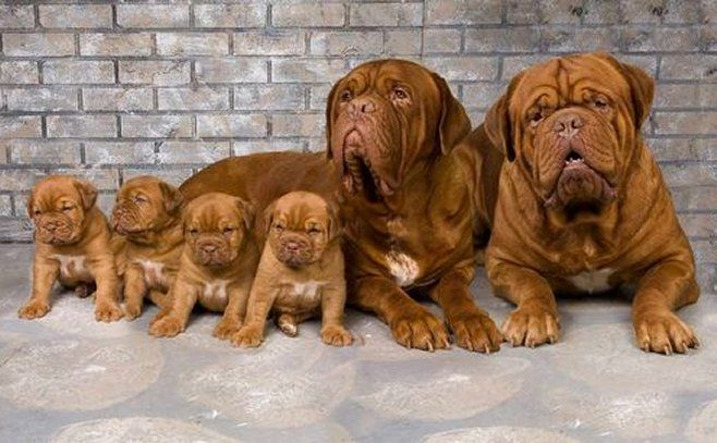 Proud French Mastiff  (Dogue de Bordeaux) Family