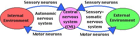 Divisions of Peripheral Nervous System: Somatic - supplies & receives fibers (neurons) to & from the skin, skeletal muscles, joints, & tendons