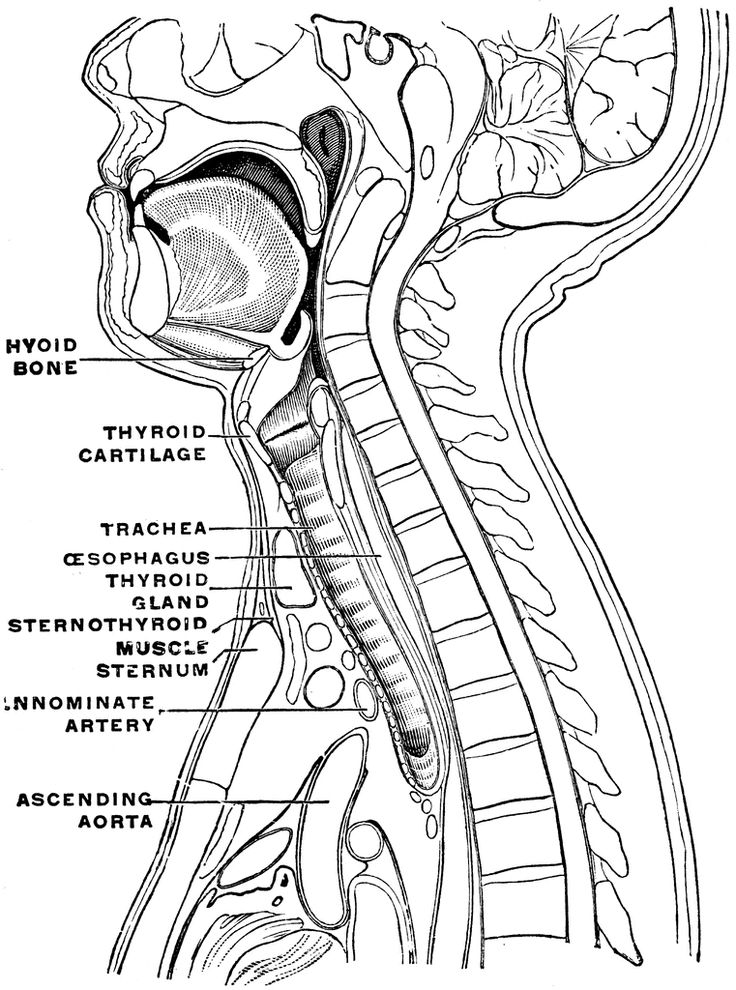 Sagittal Section Of The Neck And Head Clip Art Anatomy