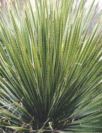 Dasylirion Leiophyllum Also Known As Dasylirion Aff