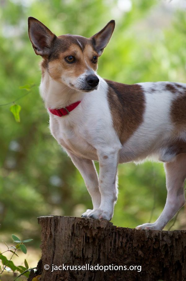 Adoptable Jack Russell Terrier, Jax, Georgia Jack Russell Adoptions | Georgia Jack Russell Rescue, Adoption and Sanctuary