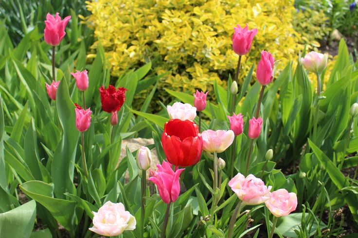 tulipan