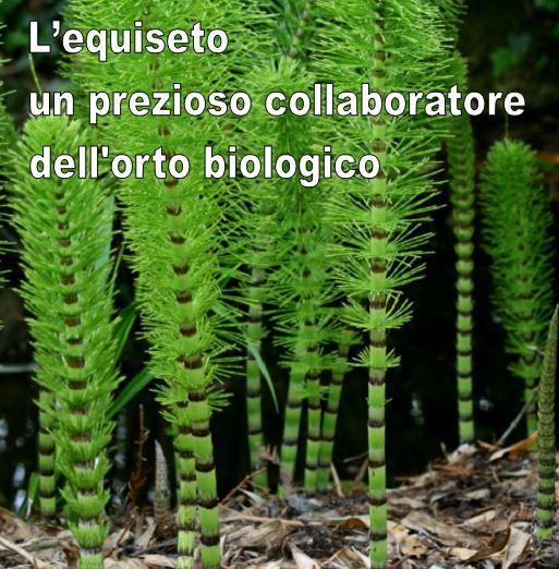 L'equiseto o erba cavallina, come usarlo contro parassiti e malattie fungine