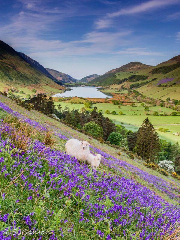 Bluebells in the Talyllyn valley, Gwynedd, Wales