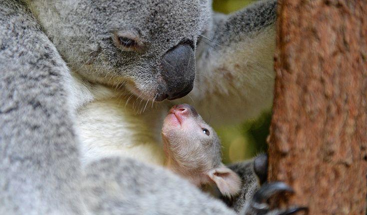 First koala joey makes debut at Australia Zoo - Australian Geographic