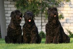 Black Russian Terrier 13
