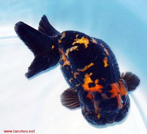Les 84 meilleures images du tableau goldfish sur pinterest for Poisson rouge koi aquarium