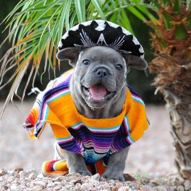 Happy Cinco de Mayo! French Bulldog in a Sombrero and