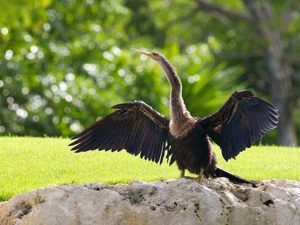 This anhinga thinks you need a BIG hug and a luxurious vacation! #birds #birdwatching #birdsofmayakoba