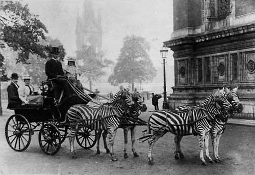 Stripes on the move! Lord Walter Rothschild used this zebra-drawn carriage to demonstrate that wild animals could be tamed. (via The Historical Times)