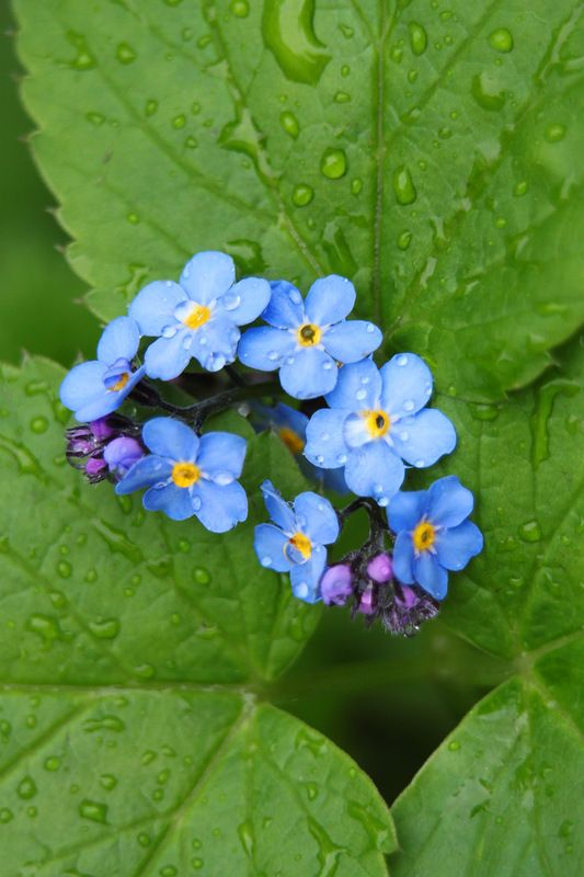 forget-me-not, blue flowers