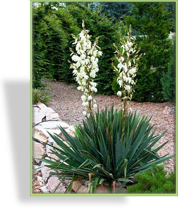 die besten 25 palmlilie ideen auf pinterest yucca. Black Bedroom Furniture Sets. Home Design Ideas