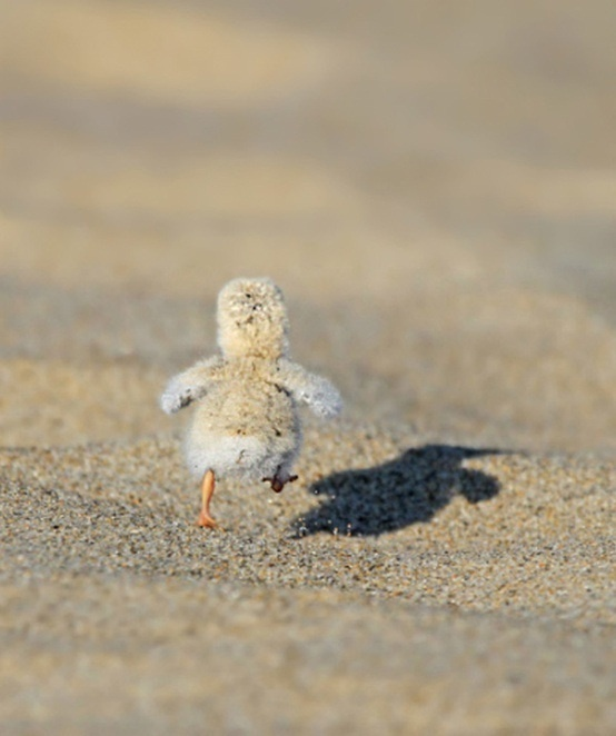 : Baby Ducks, Hot Sands, Adorable, Things, Beach, Funny Animal, Smile, Baby Chicks, Birds