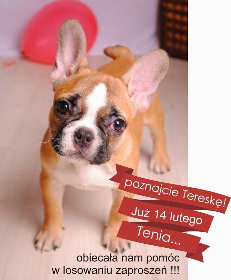 Fontanessi - Wesele na głowie: Nasza koleżanka Terenia :D Buldog francuski French Bulldog