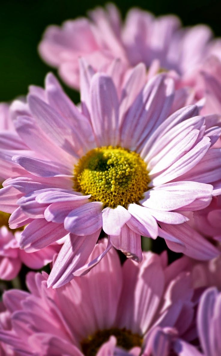 Pink Daisies Gardening And Landscape Pinterest Pink Daisy