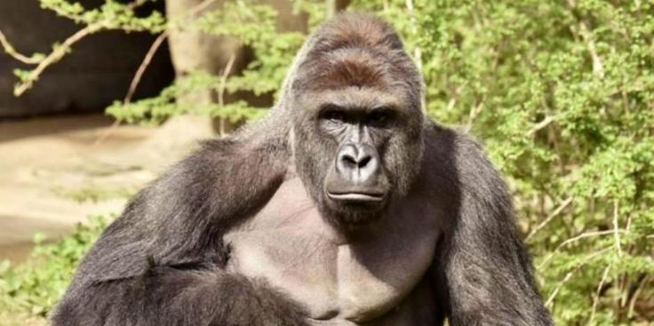 A Dead Gorilla Is A Tragedy, But So Is Blaming Moms For EVERYTHING