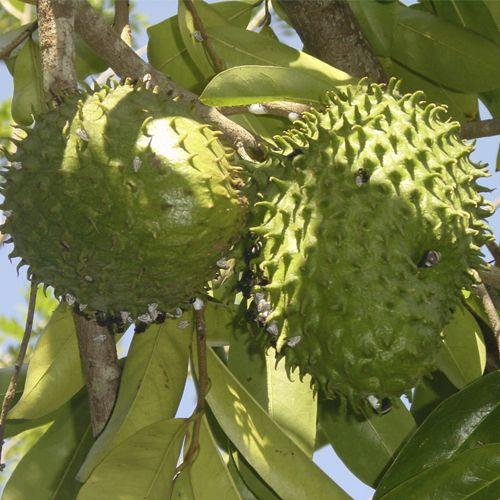 Frutas de A a Z - Graviola