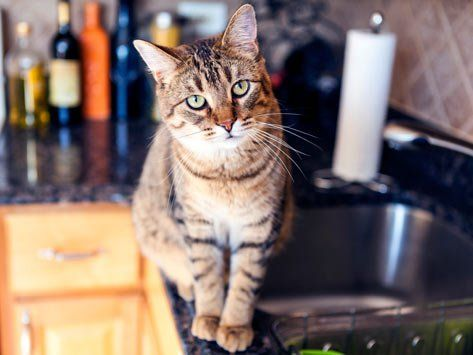 Genius Ways to Keep Your Cat Off the Kitchen Counter   petMD