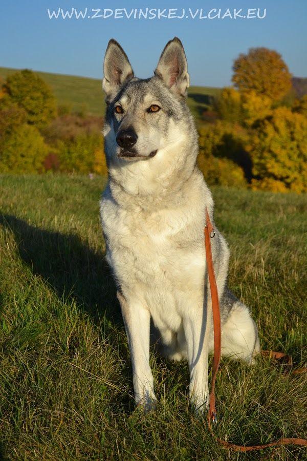 our czechoslovakian wolfdog female Vega