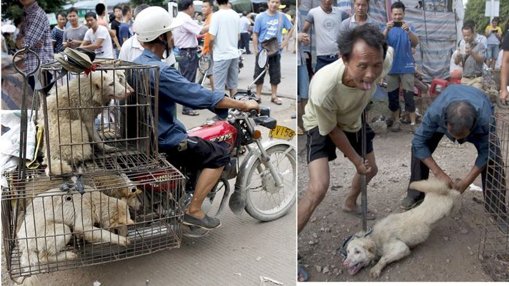 Each and every year, residents of Yulin, China, host a major dog eating festival in order to celebrate and properly welcome t...