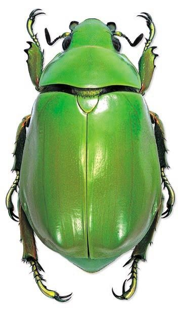 Just a plain old green beetle - but a very wonderful green.