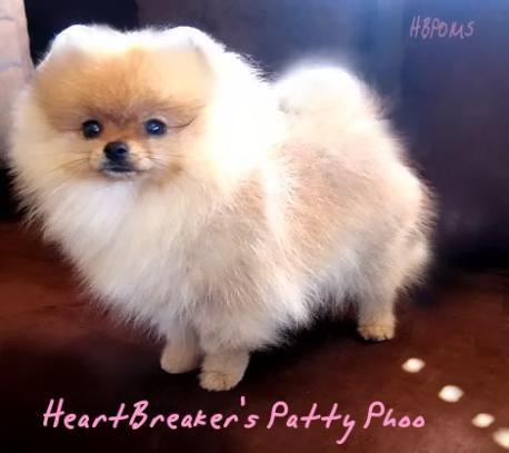 pomeranian+puppies | White Pomeranian White Teacup Pomeranian Puppies For Sale Puppy Los ...