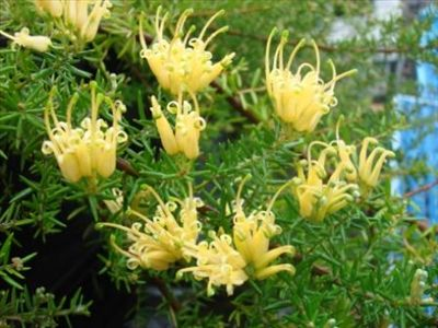 Grevillea 'juniperina 'Gold Cluster' • Australian Native Plants Nursery • Plants • 800.701.6517