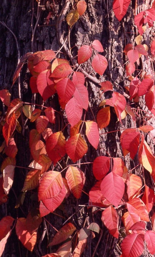 Climbing Eastern poison ivy (T. radicans) at fall with red leaves. Copyright http://weedscanada.ca/cashew.html