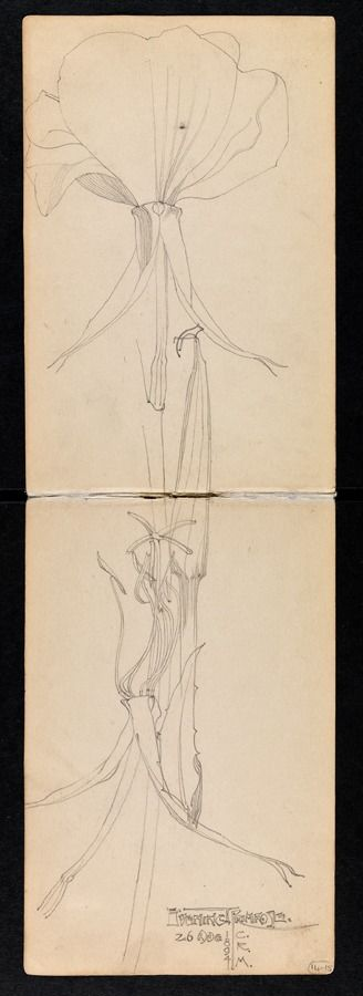 Mackintosh- Sketchbook of travels in Scotland and a tour to Kent: pp. 12 - 13  Evening primrose 26 August 1894