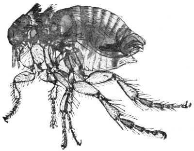 Why Are Fleas So Hard To Squish? :: Flea bites  Ever wonder why fleas are so hard to squish? Unlike mosquitoes, fire ants or other biting insects, fleas aren't easily squished. You can press down on them