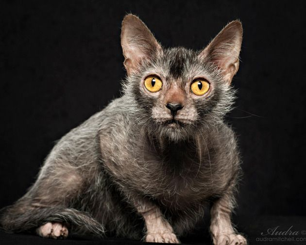 best 25 werewolf cat ideas on pinterest like a cat beautiful cats and kitty. Black Bedroom Furniture Sets. Home Design Ideas