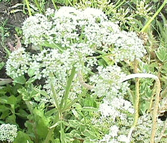 A Widespread Noxious Cool Season Annual: 79 Best Garden: CA Natives Images On Pinterest