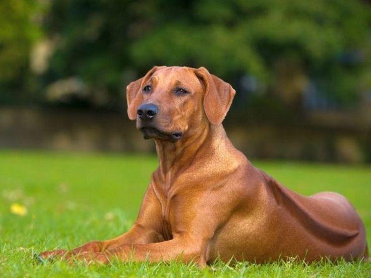 Fürge Fajta: leírás és jellemzői ismert és elfogadott kutyák Rhodesian Ridgeback (Afrikai oroszlán hound)