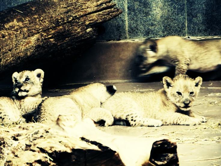 lion cubs, Omaha Zoo