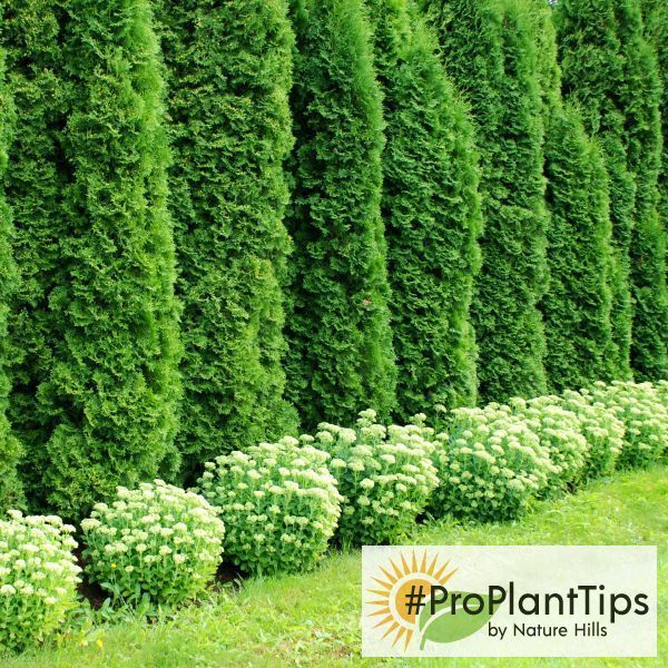 Arborvitae Tree Of Life Get Garden Design Tips For How To Use These Beautiful Trees P Emerald Green Arborvitae Privacy Landscaping Arborvitae Landscaping