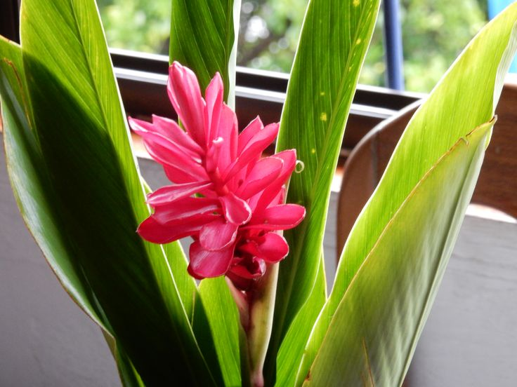 Ginger blossom
