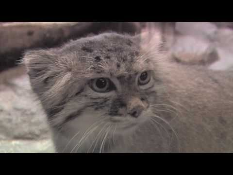 """""""The Unfluffly Truth about Pallas' Cats at Prospect Park Zoo""""... *Click for interesting video about this unique, wild, Russian cat."""