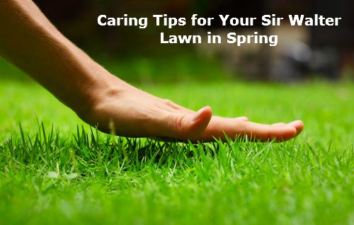Caring Tips for Your Sir Walter Lawn in Spring
