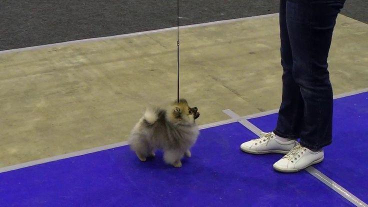 Выставка собак. Бэст Бэби.  Лучший бэби - померанский шпиц. Dog Show. BE...