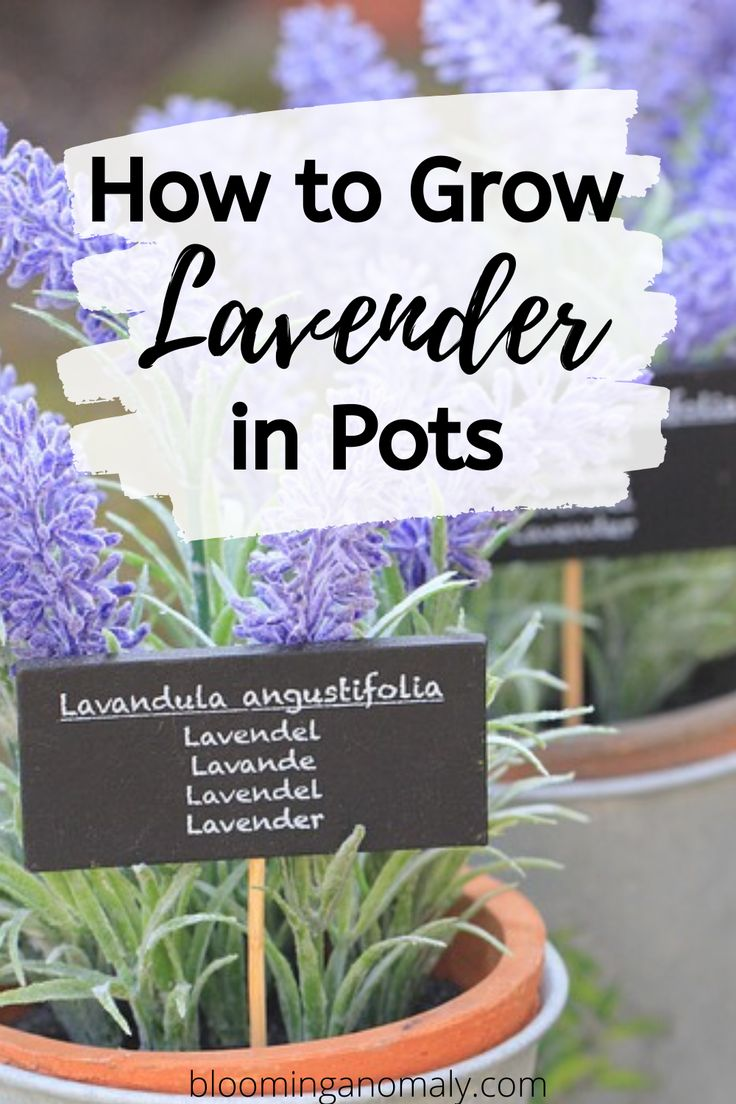 How to grow lavender in pots in 2020 growing lavender