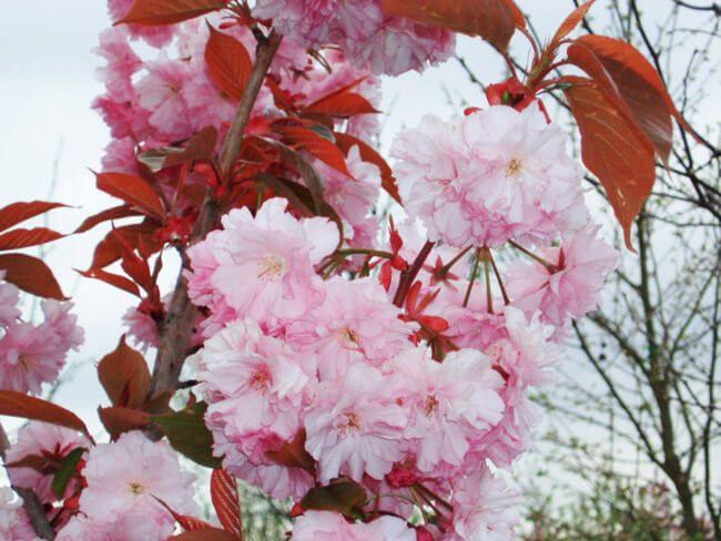 Kwanzan Cherry Flowering Cherry Tree Flowering Trees Crabapple Tree