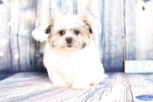 Zuchon puppy for sale in NAPLES, FL. ADN-59217 on PuppyFinder.com Gender: Female. Age: 10 Weeks Old