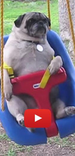 Compilation hilarante de carlins. http://rienquedugratuit.ca/videos/compilation-hilarante-de-carlins/