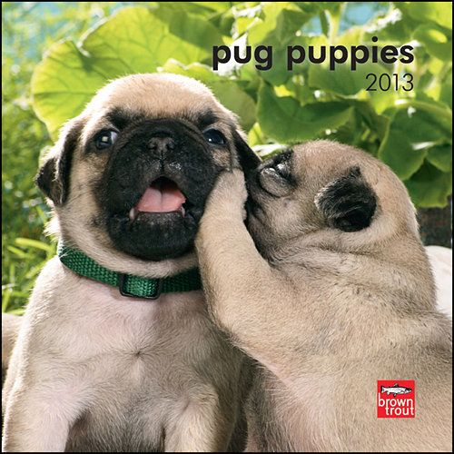 """Pug Puppies Mini Wall Calendar: It makes perfect sense to Pug owners that """"pug"""" rhymes with """"hug."""" These sweet and affectionate dogs love to cuddle. And since Pug puppies love to pose, this mini wall calendar is sure to delight.  $7.99  http://calendars.com/Pug/Pug-Puppies-2013-Mini-Wall-Calendar/prod201300004657/?categoryId=cat00301=cat00301#"""